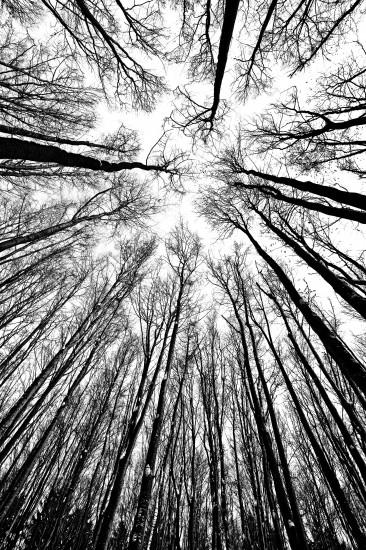 czarno-białe sylwetki drzew w widoku w kierunku nieba