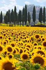 Sonnenblumenfeld in der Toskana