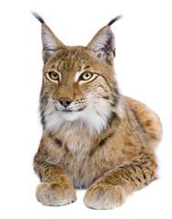 Eurasian Lynx, Lynx lynx, 5 years old