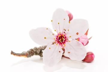 flor aislada en fondo blanco