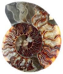 coupe ammonite fossilisée, fond blanc