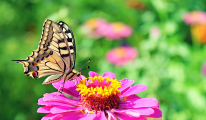butterfly (Papilio Machaon) on purple zinnia