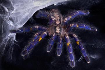 Blue Tarantula near web
