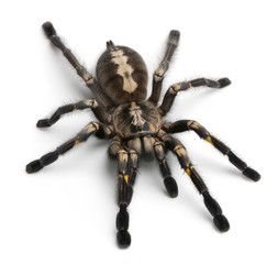 Tarantula spider, Poecilotheria Metallica, in front of white bac