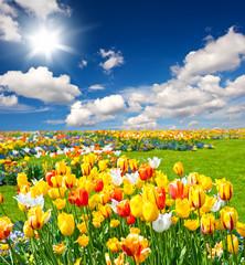 tulip flowers field on blue sky