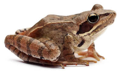 Moor Frog, Rana arvalis, in front of white background