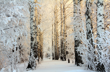 winter birch woods in morning light