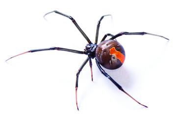 Redback spider, Latrodectus hasselti, on white background