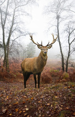 Red deer stag in foggy misty Autumn forest landscape at dawn