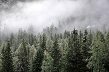 Pine trees in fog on hill side