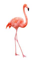 Bird flamingo walking on a white background