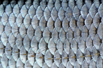 Real Roach Fish Scales Background