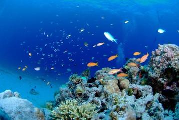 ハナダイと珊瑚礁