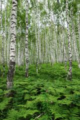 Fern thickets in a birch forest