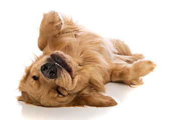 Golden Retriever dog on his back