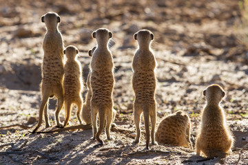 Suricate family standing in the early morning sun looking for po