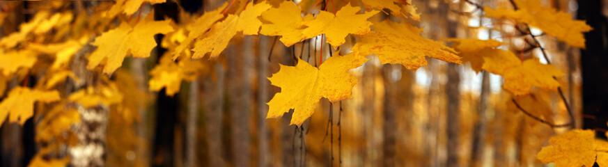 Yellow autumn maple leaves – banner, panoroma