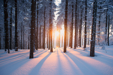Sunset in the wood in winter period