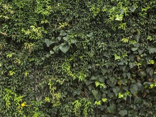 Textura de trepadoras. Hiedra, ficus, enamorada del muro