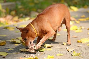 Miniature Pinscher eat in the park