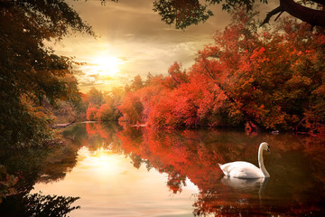 Swan in the autmn