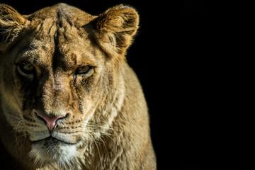 leone - lion
