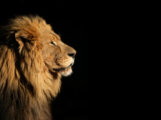 Portrait of a big male African lion on black