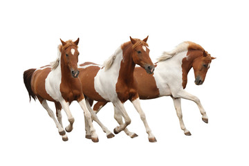 Three skewbald horses galloping isolated