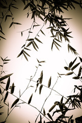 Bamboo forest backgroung in back and white tone