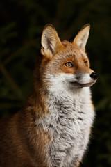Fuchs vor Dickicht