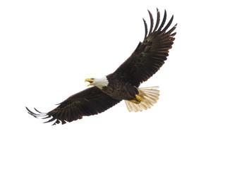 American Bald Eagle in Flight