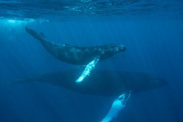 Humpback Whales Swimming