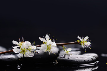 branch cherry blossom with black stones on wet background