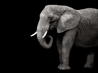 Elephant isolated on black background