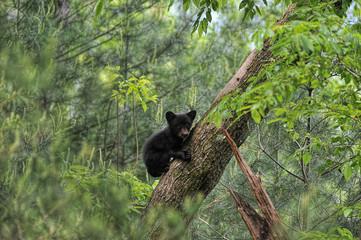Bear cub climbing tree looking out