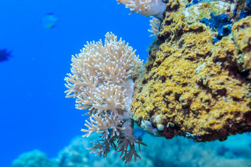 White coral on a reef of the red sea.