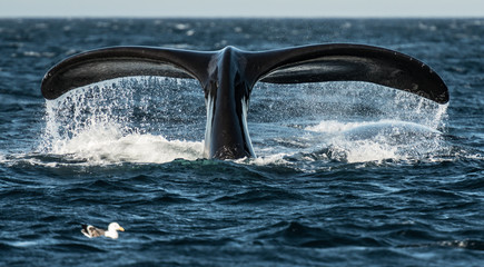 Whale tail in Patagonia