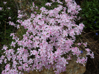 California Pink and White Mountain Phlox