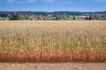 Mais Feld Trockenheit Ernteausfall Hitze Wassermangel 2018