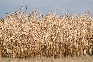 Vertrockneter Mais in Süddeutschland