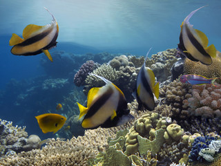Tropical fishes and corals reef in ocean