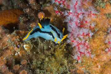 A small Crowned nudibranch (Polycera capensis) on the reef. White body with two black stripes down its body and yellow cerate.