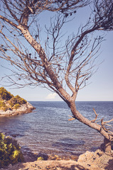 Retro toned picture of a needleless coniferous tree by a cliff at sunset, Mallorca, Spain.