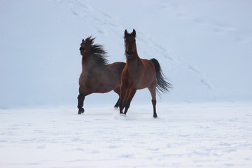 horses gallop together in the snow