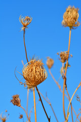 Plants dried in the sun due to drought in Southern Italy.