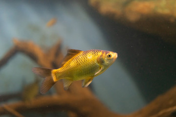 Aquarium yellow fish on the background of water.