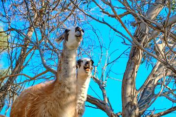 Llama closeup in a zoo in Greece. A park