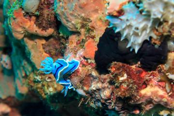Blue-white Nudibranchia. The Island Of Mindoro. Philippines.
