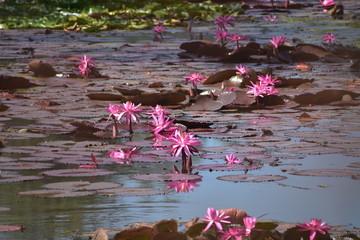 lotus on a pond, pond flower beuty