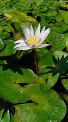 Lotus in pool volume 6555885